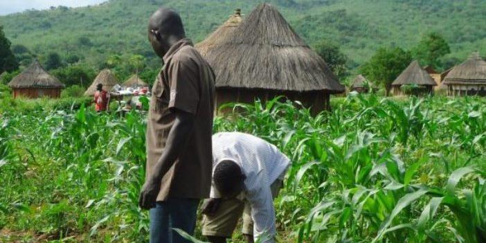 Nigeria:19,943 farmers benefit as NIRSAL deploys Agro model to support N'East economy